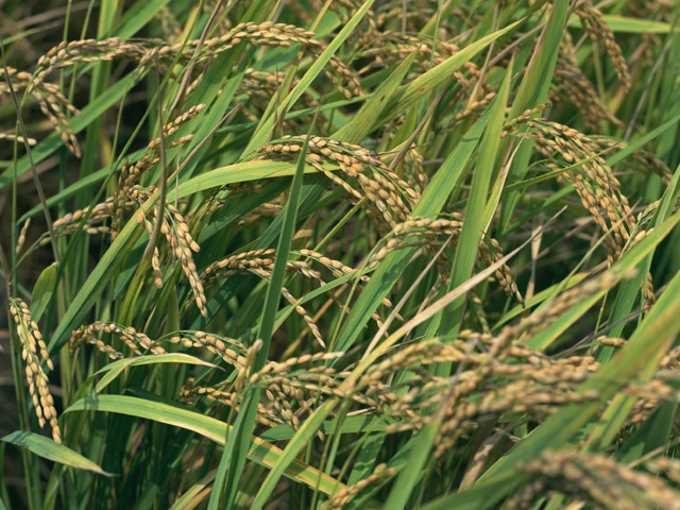 秋~米の収穫